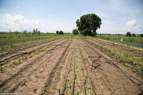 Culturile din câmp au fost distruse în totalitate